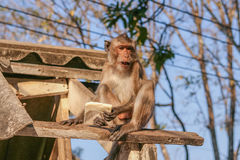 Affe auf dem Dach Stockbild