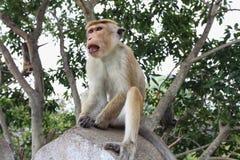 Affe auf dem Felsen in Dambule Sri Lanka Lizenzfreie Stockbilder