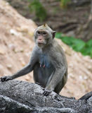Affe auf dem Felsenzaun im Porträt Stockfotos