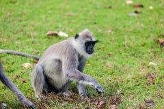 Affe auf dem grünen Gras Stockbild