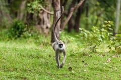 Affe auf dem grünen Gras Lizenzfreie Stockfotografie