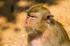 Affe auf dem Insel Ko Lan Stockfotos