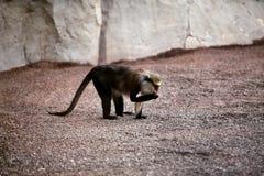 Affe auf dem Sand am Zoo Lizenzfreie Stockfotografie
