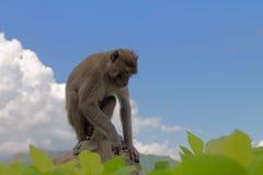 Affe auf dem Stein Stockbilder