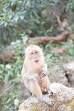 Affe auf dem Stein in Phuket Thailand Stockfotografie