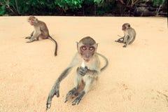 Affe auf dem Strand Stockfotos