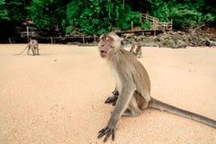 Affe auf dem Strand Stockbilder