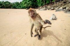 Affe auf dem Strand Stockfoto