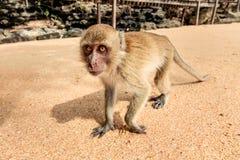 Affe auf dem Strand Stockfotografie