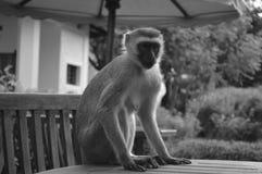 Affe auf dem Tisch Lizenzfreie Stockbilder