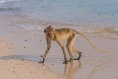 Affe auf dem Ufer Lizenzfreie Stockfotografie