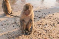 Affe auf dem Ufer Stockfoto