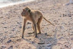 Affe auf dem Ufer Stockfotografie