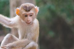 Affe auf dem verketteten Hängen am Baum Lizenzfreies Stockbild