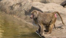 Affe auf dem Wasser Lizenzfreie Stockfotografie
