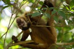 Affe auf den Baum, der auf den Niederlassungen liegt stockfotografie