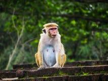 Affe auf den Ruinen von Polonnaruwa Stockfoto