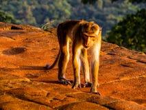 Affe auf den Ruinen von Sigiriya Stockbild