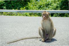 Affe auf der Straße Stockfotografie