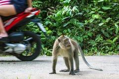 Affe auf der Straße, Motorräder führend nave Stockbilder