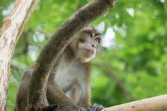 Affe auf einem Baumast Lizenzfreies Stockbild