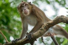 Affe auf einem Baumast Stockbilder