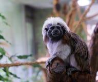 Affe auf einem Baumast Stockfoto