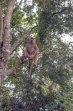 Affe auf einem Baumast Lizenzfreies Stockfoto