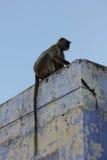 Affe auf einem hellblauen Dach in Pushkar Stockbilder