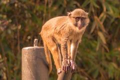 Affe auf einem Stahlpfosten Stockbilder