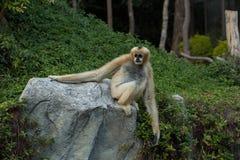Affe auf einem Stein Stockbilder