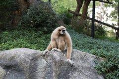Affe auf einem Stein Stockfoto