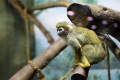 Affe auf einem Stock Stockbilder