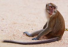 Affe auf einem Strand Stockfotografie