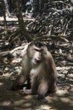 Affe auf einem Weg in der Mangrove stockbilder