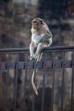 Affe auf einem Zaun Stockfotos