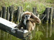 Affe auf einer hölzernen Niederlassung Lizenzfreie Stockfotografie