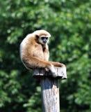 Affe auf einer hölzernen Stange, Gibbon Lizenzfreies Stockbild