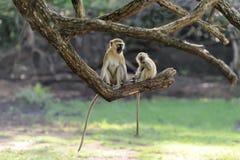 Affe auf einer Niederlassung Lizenzfreies Stockbild