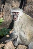 Affe auf einer Niederlassung Stockfoto