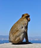 Affe auf Felsen von Gibraltar Stockfotografie