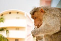 Affe auf Leiste mehrstöckigen Gebäudes 2 Problem der Kohabitation von Menschen und Tiere Bionomics Lizenzfreie Stockfotografie