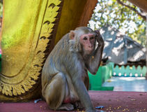 Affe auf Myanmar Stockfotografie