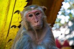 Affe auf Myanmar Stockbild