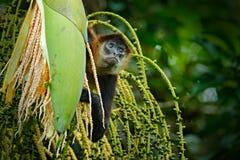 Affe auf Palme Grüne wild lebende Tiere von Costa Rica Schwarz-übergebene Klammeraffe, die auf dem Baumast im dunklen tropischen  Stockfotografie