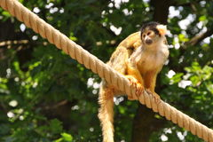 Affe auf Seil Lizenzfreie Stockbilder