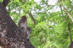 Affe auf selektivem Fokus des Baums in der Natur Stockbild