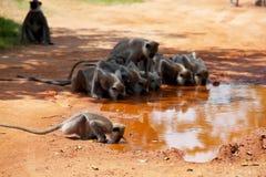 Affe auf Sri Lanka Stockfotografie