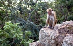 Affe auf Stein Lizenzfreies Stockbild