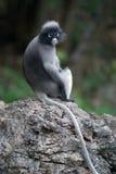 Affe auf Stein (Presbytis Obscura Reid). Stockfotos